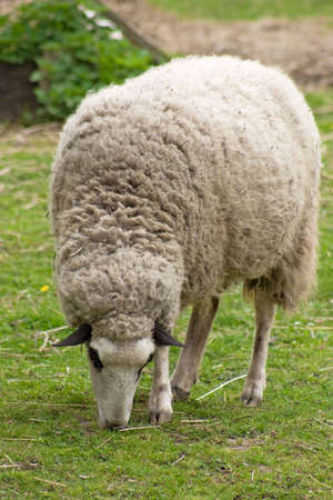 naivety: Sheep