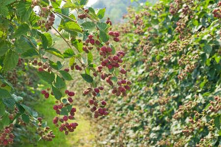Blackberry plant photo
