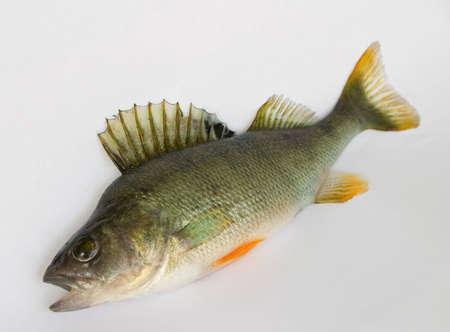 perca: Freshwater fish (Perca fluviatillis) Stock Photo