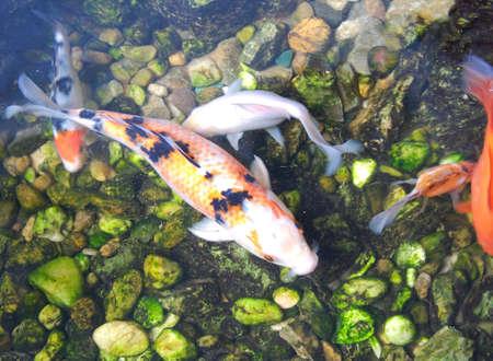 gills: Japanese Koi Carp fishes