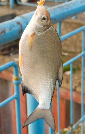 Freshwater fish (Blicca bjorkna) photo
