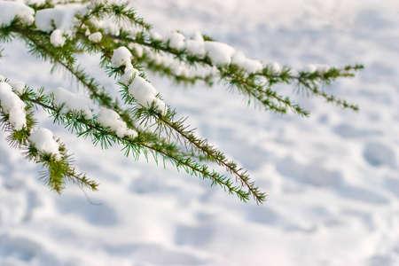 Snow on conifer tree photo