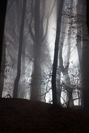 dark forest: Sun beams in fogy and scary forest Stock Photo