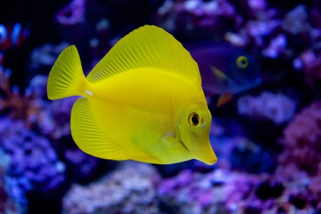 Yellow Tang Stock Photo - 15252849