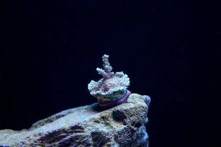 frag: Acropora Coral Frag Stock Photo
