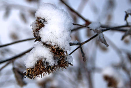 Macro photo of a dry barb of a burdock of fanciful shape covered with snow crystals.