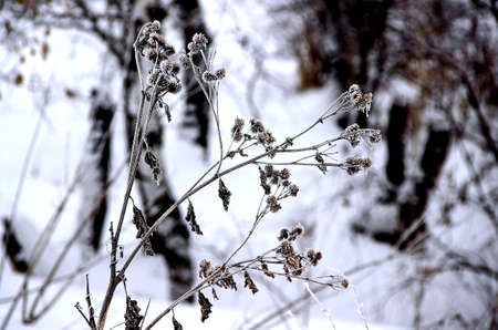 Close-up image of a burdock with dry barbs and leaves in winter time.