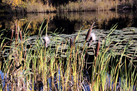 Through the reeds, you can see the surface of the lake and reflection of the coastal bushes.