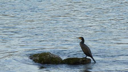 European Cormorant and Danube River