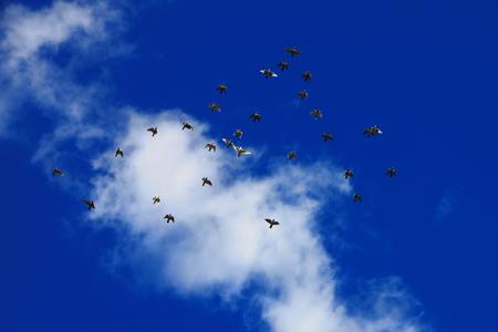 Wild goose flying on sky 版權商用圖片