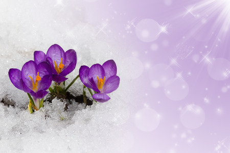 Spring crocuses in snow on a purple background. Space for text 版權商用圖片