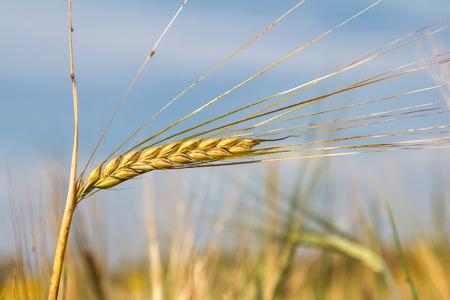 barley head: Sunny summer day. Rye field and blue sky.