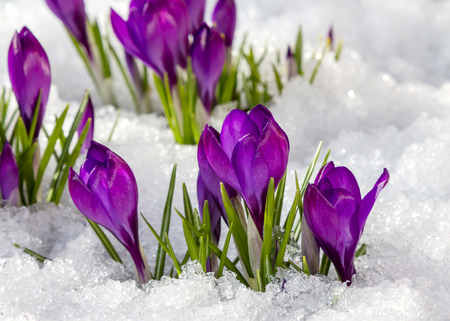 winter flower: Spring crocus in the snow, lit by the sun.