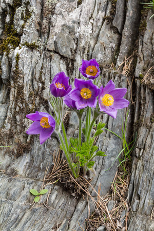 pasque: Pasque flowers growing on a rock in the mountains.