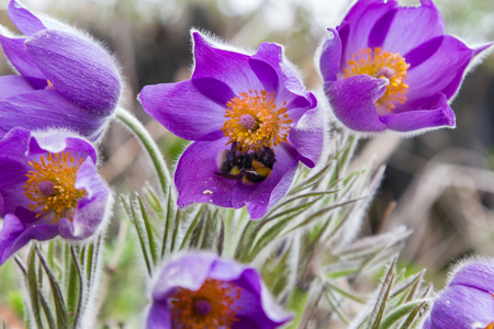 pasque: Pasque flower and bee sitting on a flower.
