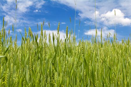 barley head: Sunny summer day. Wheat field and blue sky.