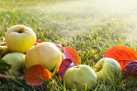 Fresh autumn apples on a background of green grass. Standard-Bild