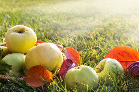 Fresh autumn apples on a background of green grass. Banque d'images