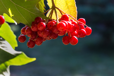 Branch with red berries viburnum on autumn background. Stock Photo