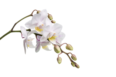 An isolated white orchid on a white surface.