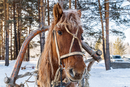 Harnessed horse in a pine forest. 版權商用圖片