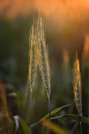 Ears of wheat in a field at sunset.