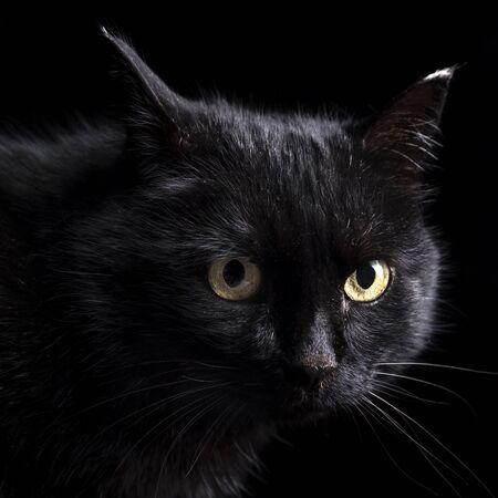 Portrait d'un chat noir en studio sur fond noir. Banque d'images