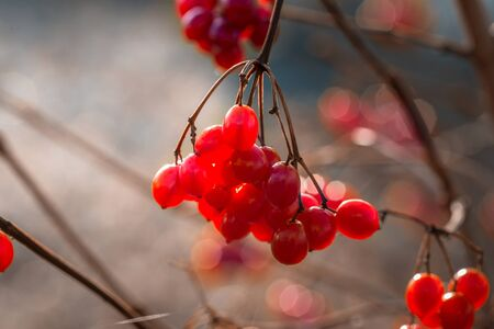 Branch with red berries viburnum on autumn background. Imagens