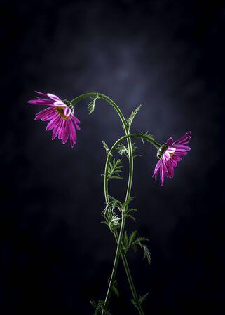 Image with chrysanthemums.