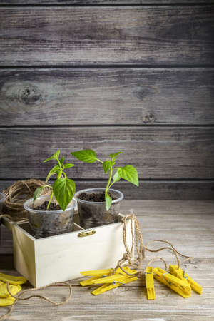 Image with sprouts of peppers. Banque d'images