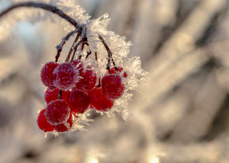 Red berries of viburnum with hoarfrost on the branches. Stock Photo