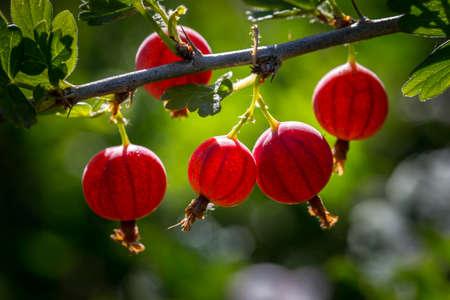 A branch of gooseberries in the garden in the sun.