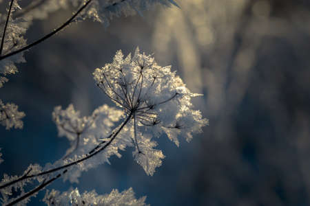 Dried flowers in a meadow in white hoarfrost. Magic photo at sunset. Stock Photo