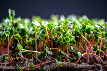 Micro Greens. Radish sprouts on a rug on a dark background close-up copy space. Growing sprouts for a healthy diet. 版權商用圖片