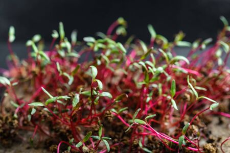 Micro Greens. Beetroot sprouts on a rug on a dark background close-up. Growing sprouts for a healthy diet.