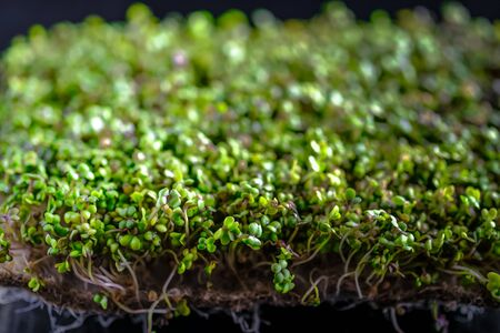 Micro Greens. Mustard sprouts on a rug on a dark background close-up. Growing sprouts for a healthy diet. 版權商用圖片