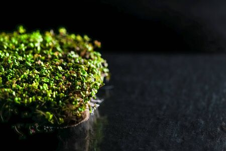 Micro Greens. Mustard sprouts on a rug on a dark background. Growing sprouts for a healthy diet.