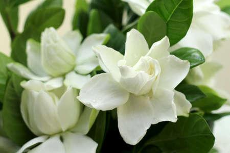 is cultivated: fresh Gardenia jasmine flowers
