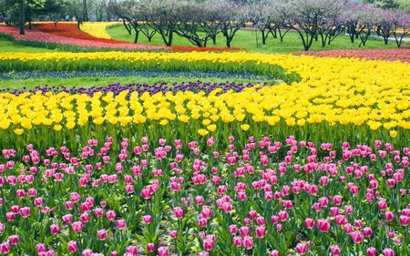 Bed of Multicolored tulips Stock Photo