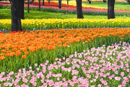 Bed of Multicolored tulips photo