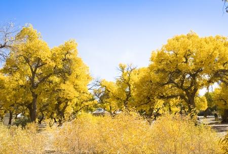 Inner Mongolia, China EJINAQI of Populus euphratica photo