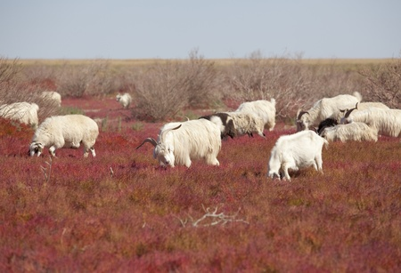 Sheep on the prairie photo