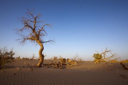 dead tree: Populus dead in the desert Stock Photo