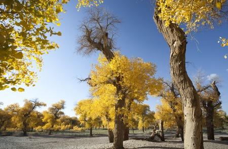 Inner Mongolia, China EJINAQI of Populus euphratica Stock Photo - 17491957