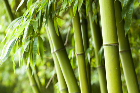 bamboo forest: Bamboo forest background