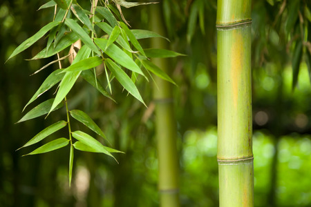tall grass: Bamboo forest background
