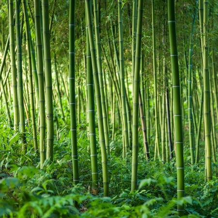 bambou: Fond forêt de bambous