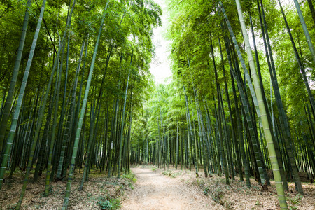 bamboo forest: Bamboo forest