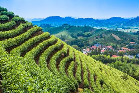 tea garden: Green tea garden on the hill,china