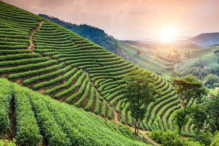 nature green: Jard�n de t� verde en la colina, china Foto de archivo